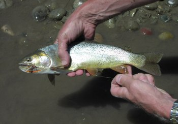 wyoming cutthroat trout